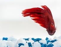 Endstück von roten betta Fischen Lizenzfreie Stockbilder