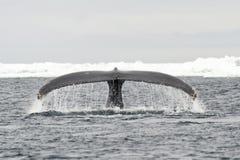 Endstückansicht des Buckelwals Stockbild