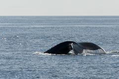 Endstückansicht des Buckelwals Stockfoto