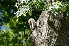 Endstück eines Eichhörnchens Stockfotos