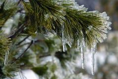 Enduit de glace sur l'arbre de pin Images stock