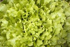 Endywii sałaty dorośnięcie w ogródzie Zdjęcia Stock