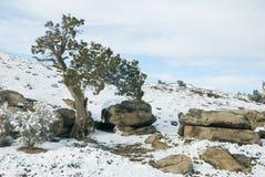 Enebro con las rocas en nieve Fotos de archivo