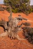 Enebro de Utah Imagen de archivo libre de regalías