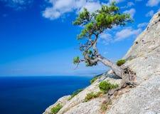 Enebro en roca Imagen de archivo