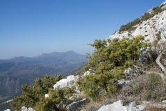 Enebro espinoso (oxycedrus del Juniperus) Imagen de archivo libre de regalías