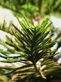 Enebro o Juniperus chino chinensis Imágenes de archivo libres de regalías