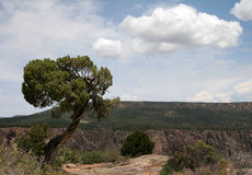 Enegreça a árvore solitária da garganta Fotos de Stock Royalty Free