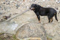 Enegreça e cão transversal bronzeado da raça que está em um córrego Foto de Stock