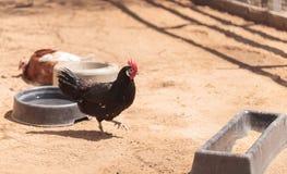 Enegreça, lustre, bronzeie, e as galinhas brancas Foto de Stock Royalty Free