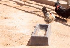 Enegreça, lustre, bronzeie, e as galinhas brancas Imagem de Stock