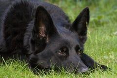 Enegreça o cão de pastor alemão Fotografia de Stock Royalty Free