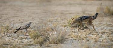 Enegreça o chacal suportado que anda no Kalahari que procura o alimento em Fotografia de Stock