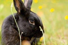 Enegreça o coelho de Nova Zelândia em um campo das flores Foto de Stock