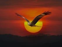Enegreça o papagaio Foto de Stock Royalty Free