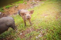 Enegreça o porco Fotos de Stock