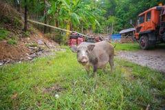 Enegreça o porco Foto de Stock Royalty Free