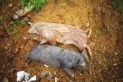 Enegreça o porco Fotografia de Stock Royalty Free