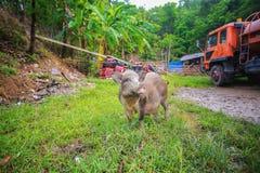 Enegreça o porco Foto de Stock