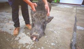 Enegreça o porco Imagens de Stock