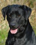 Enegreça o retriever de Labrador Fotografia de Stock
