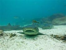 Enegreça tubarões derrubados do recife, Ilhas Galápagos, Equador Foto de Stock