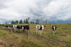 Enegreça vacas manchadas e um céu nebuloso de ameaça Imagens de Stock