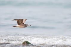Enegreça a gaivota atada Fotos de Stock