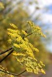 Eneldo amarillo Fotografía de archivo