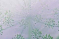 Eneldo en el invernadero, fondo borroso de la naturaleza Imágenes de archivo libres de regalías