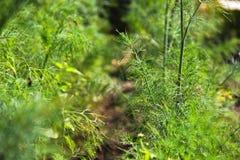 Eneldo en el jard?n greenery fotografía de archivo