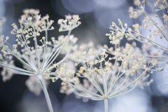Eneldo floreciente Fotografía de archivo
