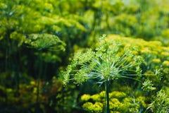 Eneldo floreciente en el jardín en la luz del sol Imagen de archivo libre de regalías