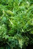 Eneldo verde fresco crecer en jardín imagen de archivo