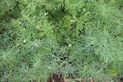 Eneldo verde que crece en invernadero en el jardín Imagenes de archivo