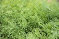Eneldo verde que crece en invernadero en el jardín Imagen de archivo