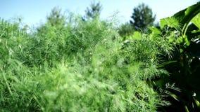 Eneldo verde que crece en la cama vegetal del suelo en cierre de la zona rural Verduras de la agricultura biológica y verdes fres almacen de metraje de vídeo