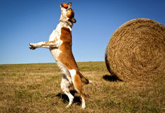 Energetic Australian cattle dog leaping with ball in mouth Stock Images