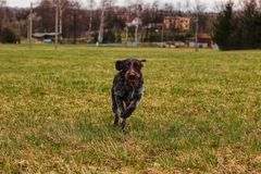 Energetic bohemian wire runs back and forth all day all night. Untiring puppy frolic in the park. Dog tries max speed in outside.  stock photography