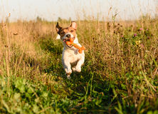 Energetic dog fetching toy bone. Jack Russell Terrier playing at grass field Stock Images