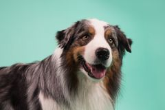 The australian shepherd dog. Energetic dog waiting for someone to play with Stock Photography