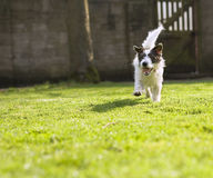 An energetic Jack Russell running Stock Images