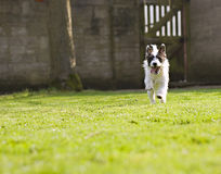 An energetic Jack Russell running Stock Photo