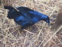 Energetic Male Satin Bowerbird Collecting Blue Objects. royalty free stock photography
