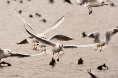 Energetic seagulls. Seagulls energetically flapping their wings over lake Royalty Free Stock Image