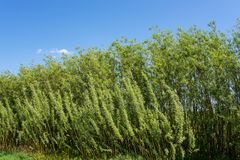 Energetic willow plantation, alternative energy natural eco background. Energetic willow salix viminalis plantation, alternative energy natural eco background royalty free stock photos