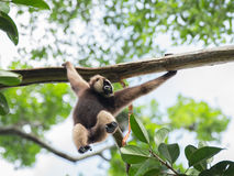 Energiczny Ñ€ylobates lar rusza się na drzewie w jej rękach w dżunglach Indonezja zdjęcie royalty free