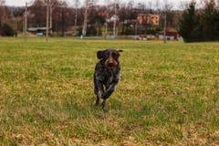 Energiczny czecha drut biega tam iz powrotem cały dzień przez całą noc Niezmordowany szczeniak baraszkuje w parku Pies próbuje ma fotografia stock