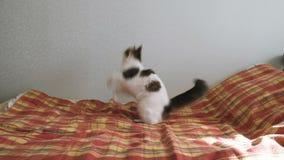 Energiczny kot bawić się z piórkiem na łóżku Zwierzę domowe wiruje wokoło i skacze za zabawką, zwolnione tempo zbiory wideo