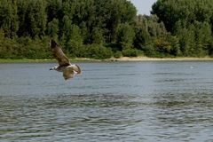 Energiczny lot seagulls jeden dzień na Danube rzece 2 zdjęcia royalty free